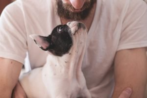 Boston terrier looking up lovingly at his bearded owner